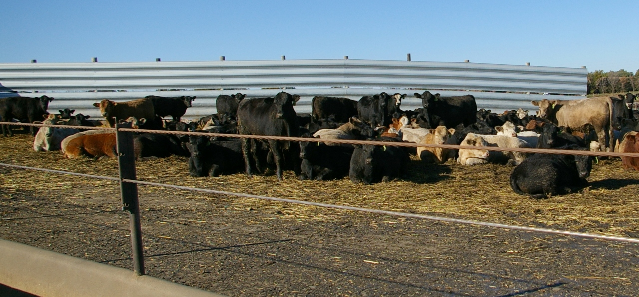 cattle bedding