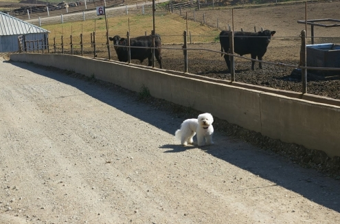 zoey cattle pen 6